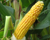 Maize seed varieties selected by RWN have consistently produced outstanding results in the field