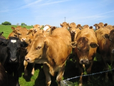 Coarse Blended Feeds are ideal for Dairy Heifers, Beef & Rearing Stock