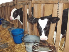 Once-a-day feeding milk to calves has clear advantages over twice day feeding