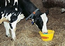 F1 Fresh Start drink for new calving cows provides rehydration, energy and calcium