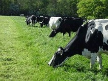 Mineral supply for cows and for heifers is as important at grass as it is in the Winter