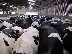 Control of acidosis results in clean, healthy cows with good body condition score