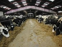 Rumen buffer and yeast help prevent acidosis and SARA / sub-acute acidosis in dairy cows