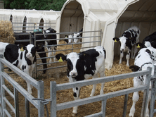 Calves fed milk in the morning only, eat more dry feed throughout the day, increasing performance as well as reducing labour costs