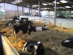 Good Feed Management of Dry and Transition Cows close to Calving is Essential