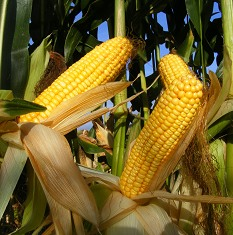 Selecting the best Maize Seed Variety is key.