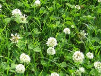 White Clover can dramatically reduce nitrogen costs whilst increasing milk output