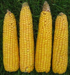 We aim to supply maize varieties which reliably produce the highest yields with big early cobs