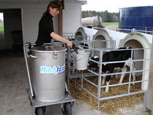 Dairy Heifer Replacements fed Once-a-Day can be penned singly or in small groups. This has many advantages in terms of general health and welfare