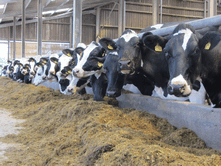 Minerals and Vitamins are an essential part of dairy cow nutrition