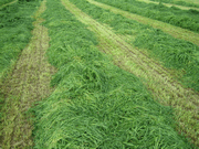 More frequent cutting of silage increases yeild per acre and the feed value of silage