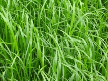RWN grass seed mixtures are are formulated for maximum yield, digestibility, sugar levels, sward density, persistenct and disease resistance. They reduce milk production costs by increasing cow performance