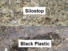 Maize silage surface trial. No waste with Silostop oxygen barrier and severe spoilage with black plastic silage sheets. Poor sealing and air penetration into silage pits often results in thousands of pounds worth of losses