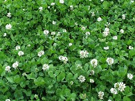 New Aber White Clovers from IGER produce high forage yields without the need for Nitrogen fertiliser - Download The Clover Management Guide PDF