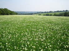 White Clovers can fix huge amounts of nitrogen as well as lifting milk yield